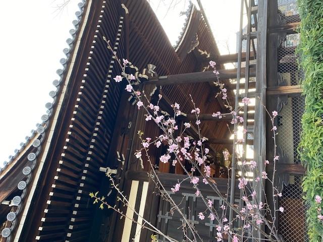 頂妙寺と河津桜
